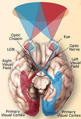 Anatomia Occhio ed il cervello